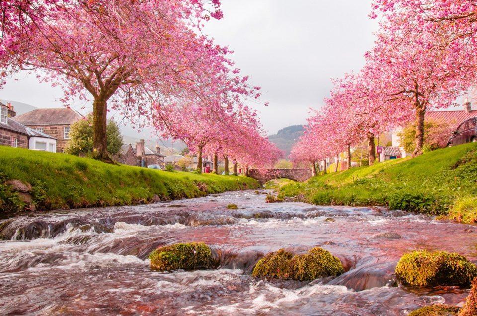Hoa anh đào Nhật Bản nở vào mùa nào ???