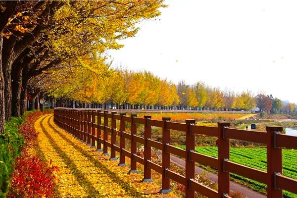 Mùa Thu vàng Hàn Quốc